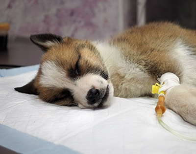 Puppy with diarrhea receiving IV fluids due to possible parvovirus